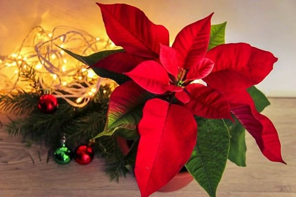 Пуансеттия или молочай прекраснейший: Нюансы ухода в домашних условиях за необычным растением с красными листьями