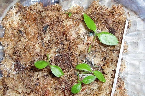 Размножение хойи семенами