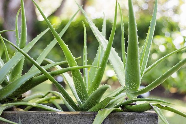 Алоэ вера – лечебные свойства и противопоказания, полезные свойства растения алоэ вера