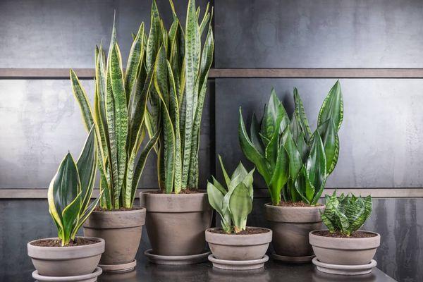 Сансевиерия описание растения