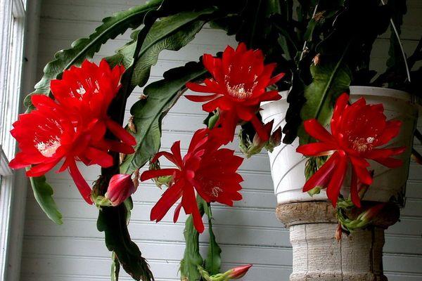 Цветущий ээпифиллум