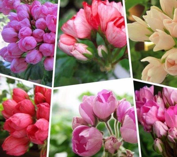 Герань тюльпановидная: описание