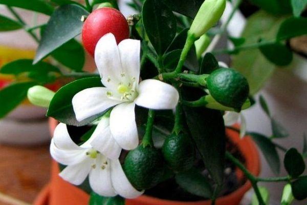 Как цветет и плодоносит мурайя