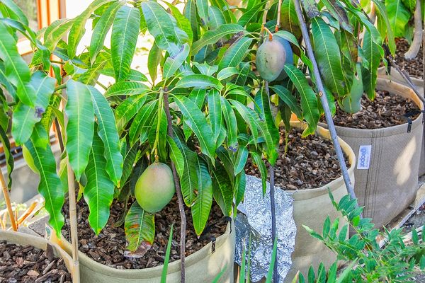 Пересадка манго