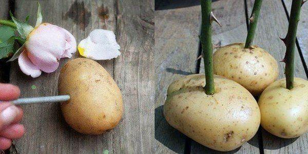 Укоренение черенка в клубне картофеля