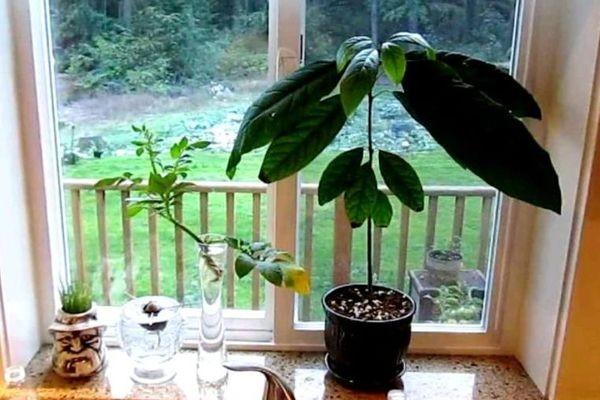 Домашнее авокадо: температура
