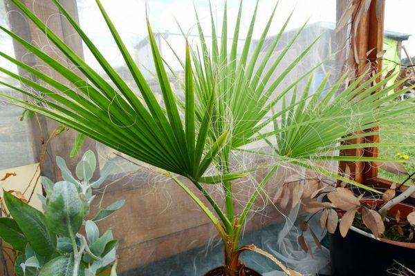 Пальма в период покоя