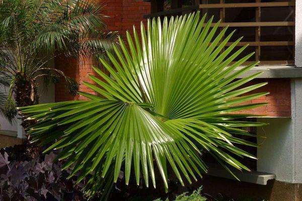 Пальма Вашингтония в домашних условиях