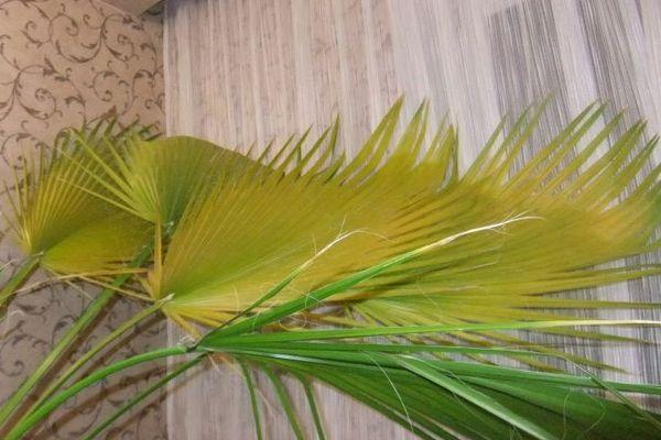 Желтые листья у пальмы