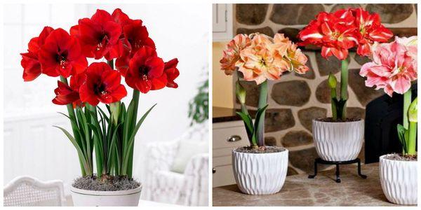 Цветы амариллиса и гиппеаструма