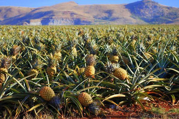 Где растут ананасы
