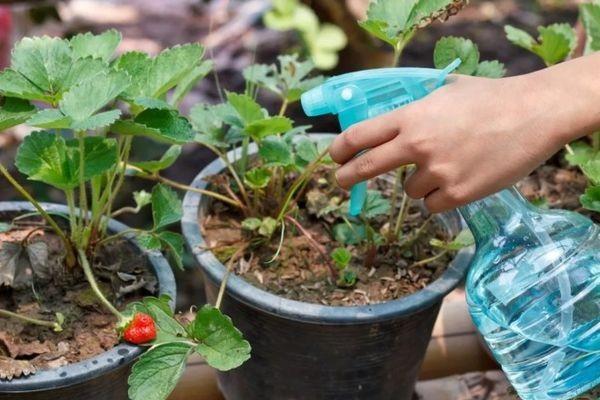 Как обработать ягоды