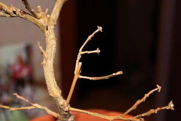 каламондин сбрасывает листья