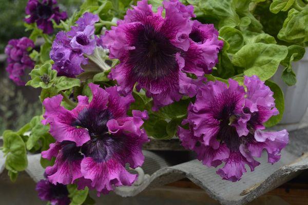 Крупноцветковая петуния