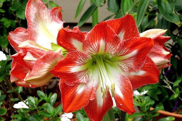 крупноцветковые сорта