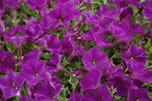 Мелкоцветковые петунии