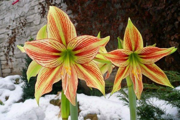 мелкоцветковые сорта