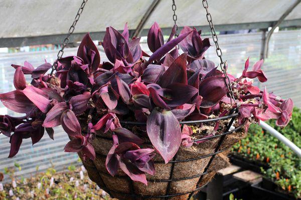 Сеткреазия пурпурная