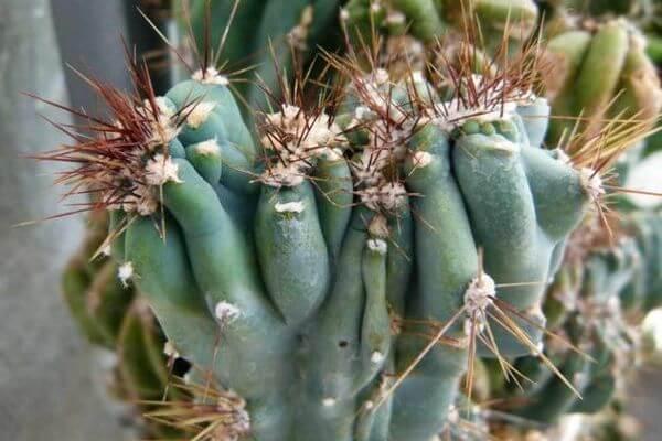 Cereus monstruosus