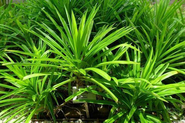 Грунт для пальмы
