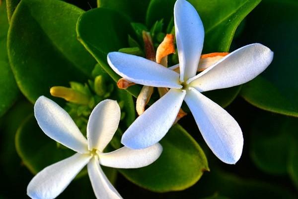 Крупноцветковая грандифлора