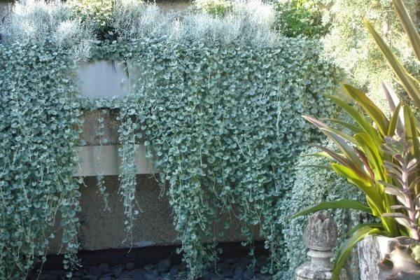 Садовая дихондра