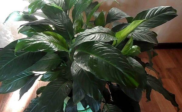 спатифиллумом выпускает только листву