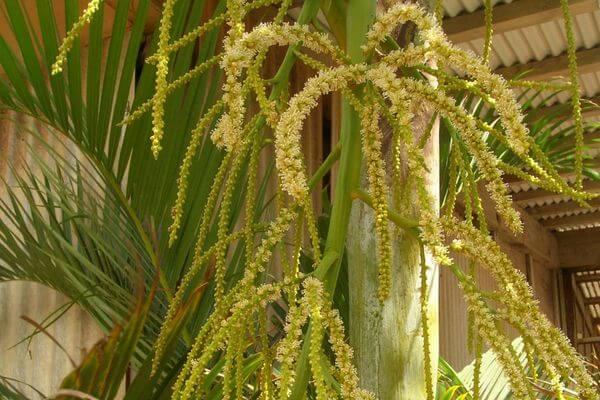 Хризалидокарпус: цветение
