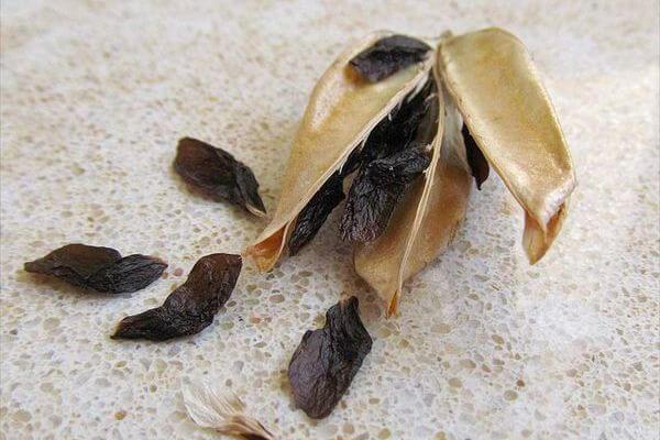 Семена агапантуса