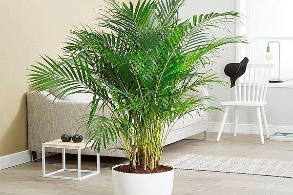 Арековая пальма