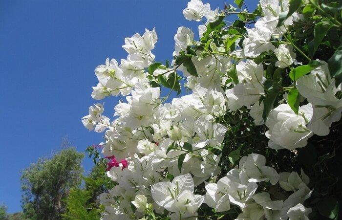Сорта белого цвета
